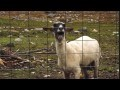 Ein Schaf ist Scharf - Yeah Lamb vs Screaming Sheep