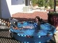 /78d153f8cc-english-bulldog-girl-playing-in-a-wading-pool