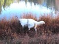 /77b314c226-dino-the-exploring-ranch-dog