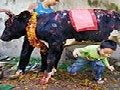 Another Bizarre Ritual of Crawling Under A Cow During Diwali