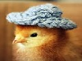 /00fb4c24c4-cute-baby-chicks-wearing-funny-little-hats