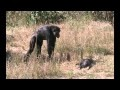 /9738c56513-chimpanzee-mother-learns-about-her-dead-infant