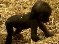 Gorilla Baby at Zoo in London