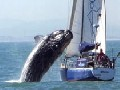 Killer Whale Destroys Sailboat
