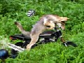 Future Dog Motorbike Racer!