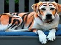 /7314717c1f-owner-dyed-his-labrador-to-look-like-a-tiger
