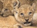 They are soooo cute! 4 Baby lions in Hamburg