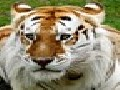 /24955b0128-golden-tabby-tiger