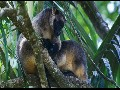 Unique video of tree kangaroos