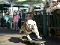 9 Crazy and Clever Skateboarding Dogs - Super Funny