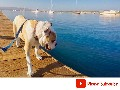 /e09b888c41-english-bulldog-walking-down-the-pier-in-morro-bay-ca