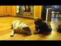Sneak Attack on English Bulldog