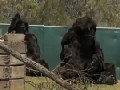 Fake Gorillas