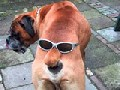http://www.welaf.com/13353,wonderful-use-of-sunglasses-for-the-dog.html