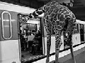 Savanna Animals Took The Paris Metro