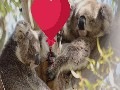 /0081696635-how-koalas-celebrate-valentines-day