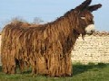 /98c6adb0c5-poitou-donkey-the-rarest-least-known-breed