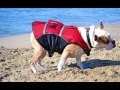 /ba02fc6c97-english-bulldog-shaking-off-water