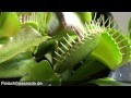 The Venus flytrap eats a long Worm
