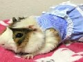 The Latest Fashions For Glamorous Guinea Pigs