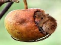 /24215af2f0-harvest-mouse-takes-daytime-nap-into-hanging-apple