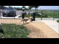 /f13fe85cb7-english-bulldog-at-the-dog-park
