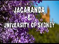 /fd394c513b-blooming-jacaranda-of-sydney-university
